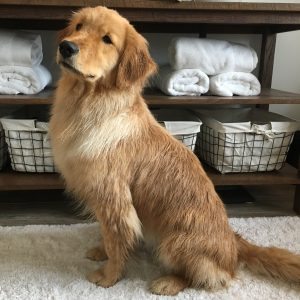 young golden retriever dog wet after a bath about to be dried off