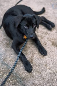 Short-coated black dog laying on pavement hooked to leash with collar and gold dog tag