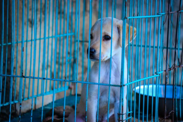 labrador retriever puppy sitting in blue wire crate